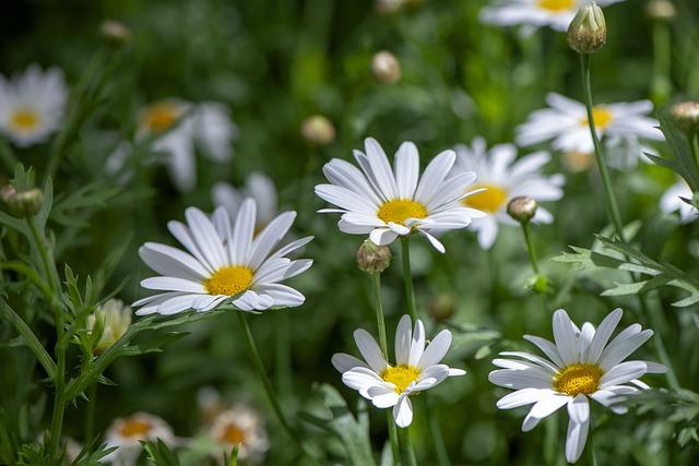y nghia hoa cuc trong phong thuy