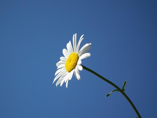 y nghia hoa cuc trong tinh yeu