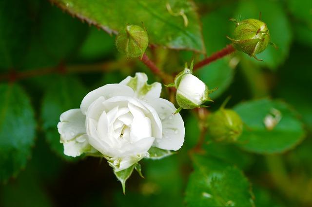 y nghia hoa hong trang trong tinh ban