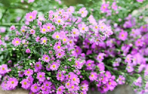 hoa thach thao